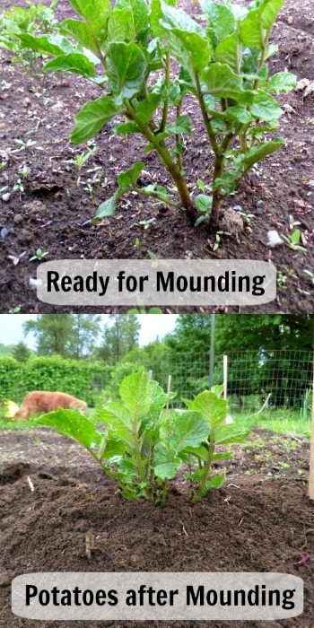 How to Plant and Grow Potatoes (In Containers or the Ground)